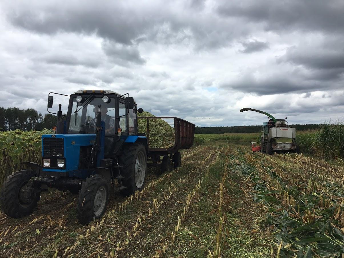 """""""Корови їстимуть, як королеви"""": на фермі в Задеріївці закінчують закладання кукурудзи на силос"""